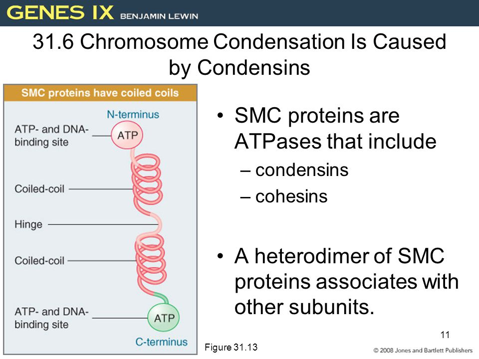 31.6 Chromosome Condensation Is Caused by Condensins
