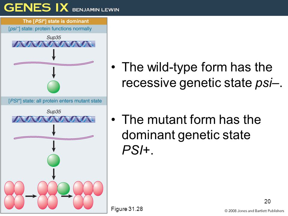 The wild-type form has the recessive genetic state psi–.