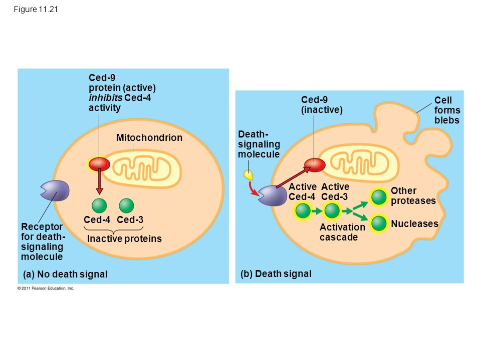 Ced-9 protein (active) inhibits Ced-4 activity