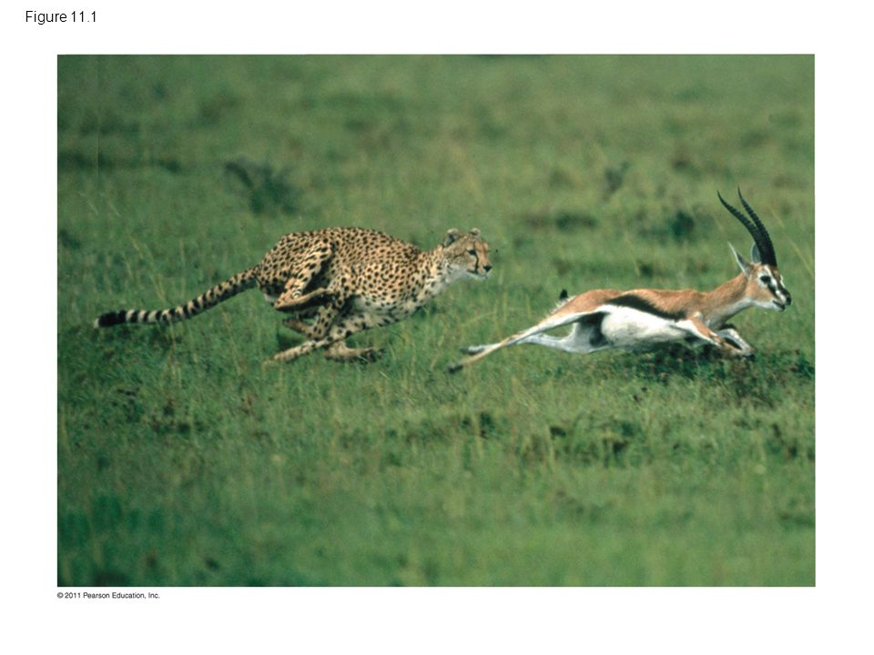 Figure 11.1 Figure 11.1 How does cell signaling trigger the desperate flight of this gazelle