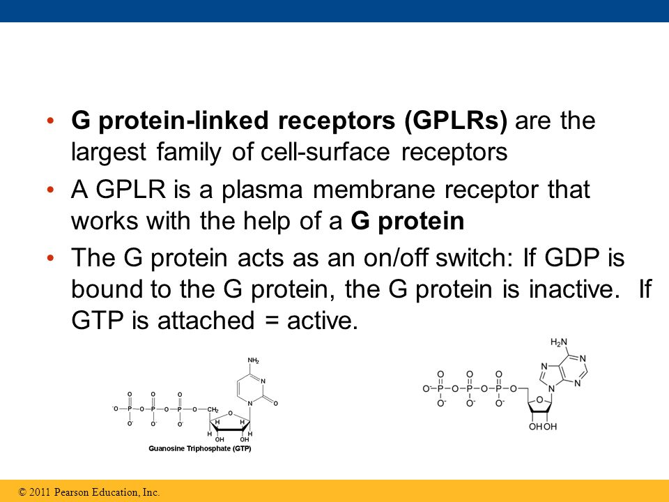 G protein-linked receptors (GPLRs) are the largest family of cell-surface receptors