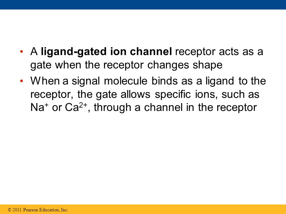 A ligand-gated ion channel receptor acts as a gate when the receptor changes shape