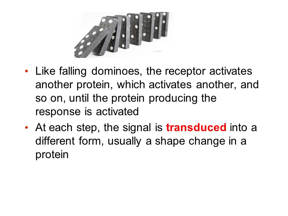 Like falling dominoes, the receptor activates another protein, which activates another, and so on, until the protein producing the response is activated