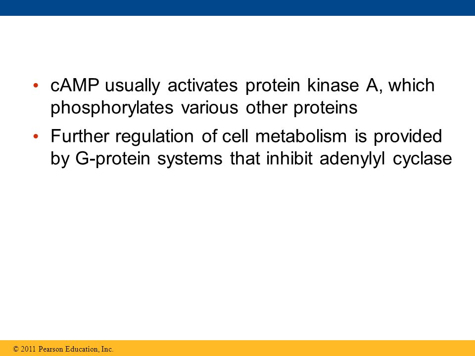 cAMP usually activates protein kinase A, which phosphorylates various other proteins