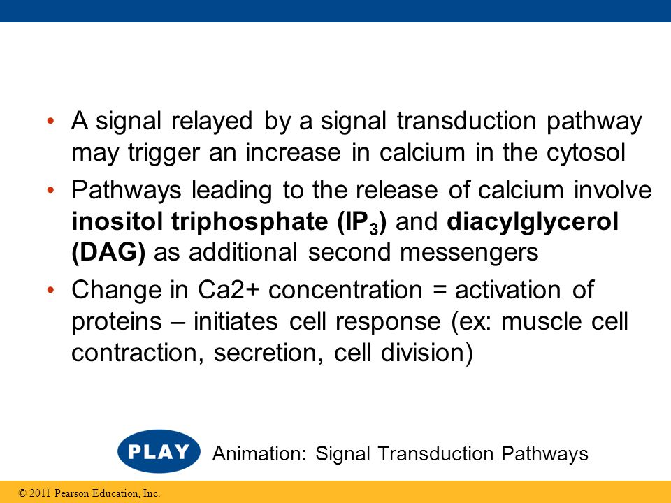 A signal relayed by a signal transduction pathway may trigger an increase in calcium in the cytosol