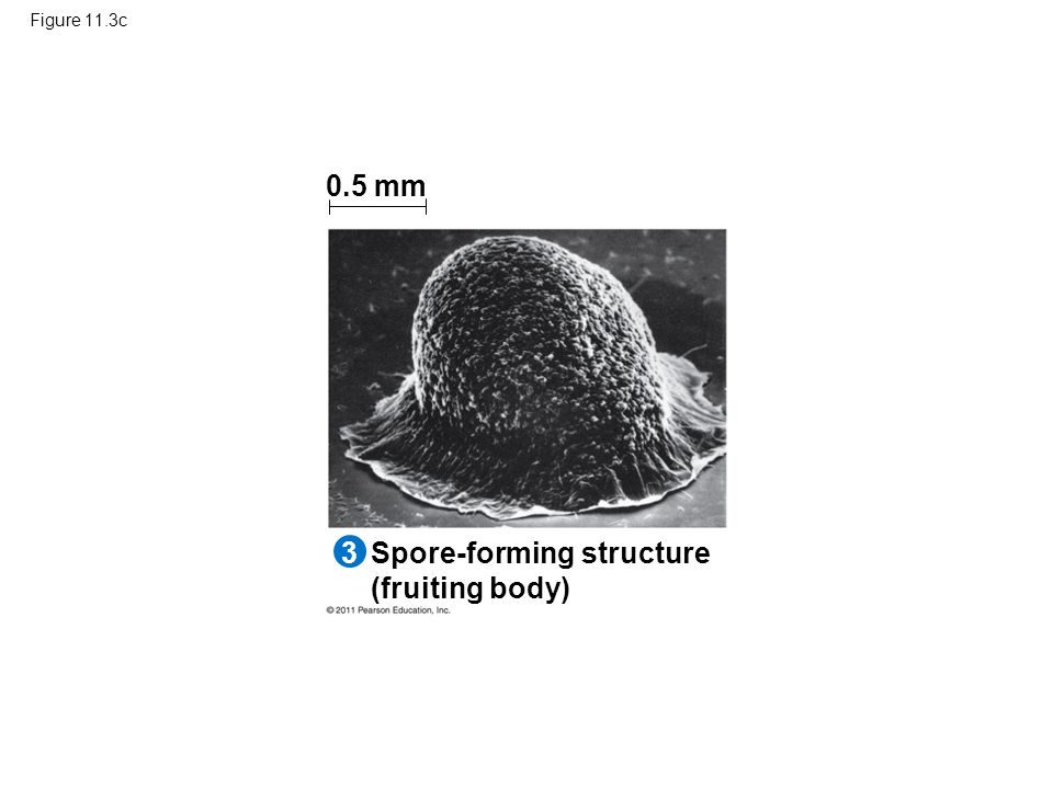 Spore-forming structure (fruiting body)