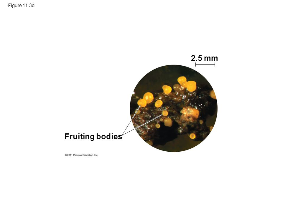 2.5 mm Fruiting bodies Figure 11.3d