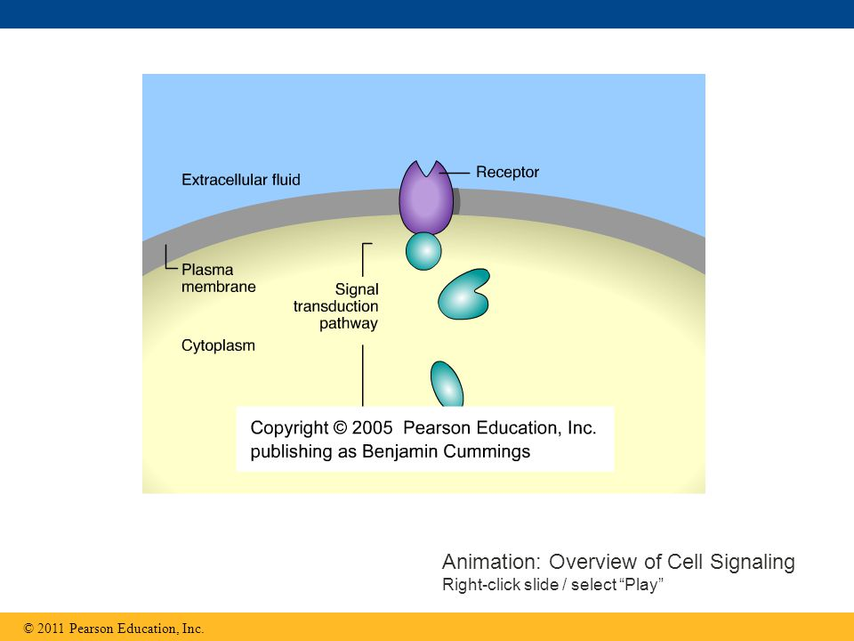Animation: Overview of Cell Signaling Right-click slide / select Play