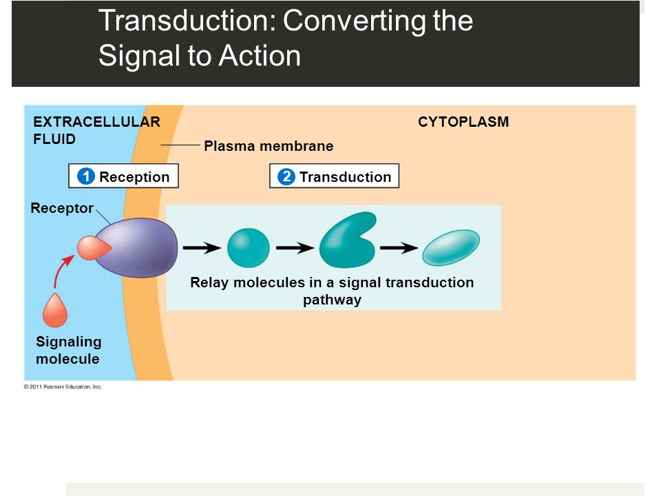 Transduction: Converting the Signal to Action