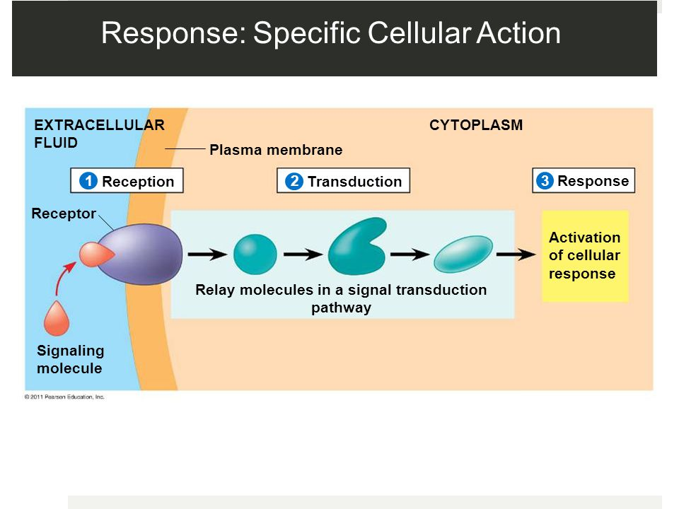 Response: Specific Cellular Action