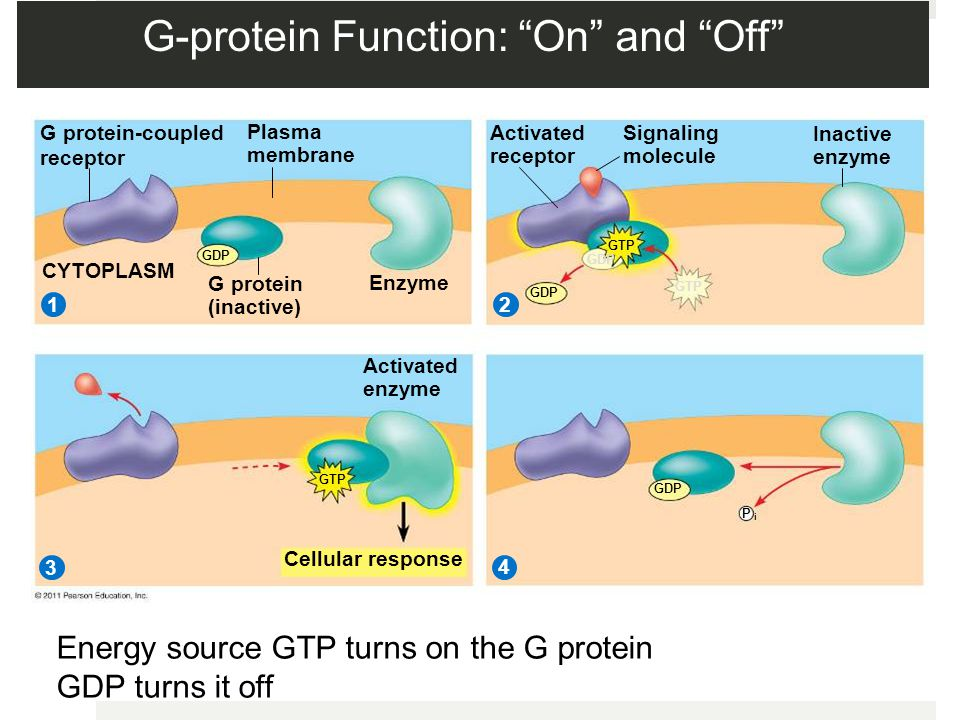 G-protein Function: On and Off