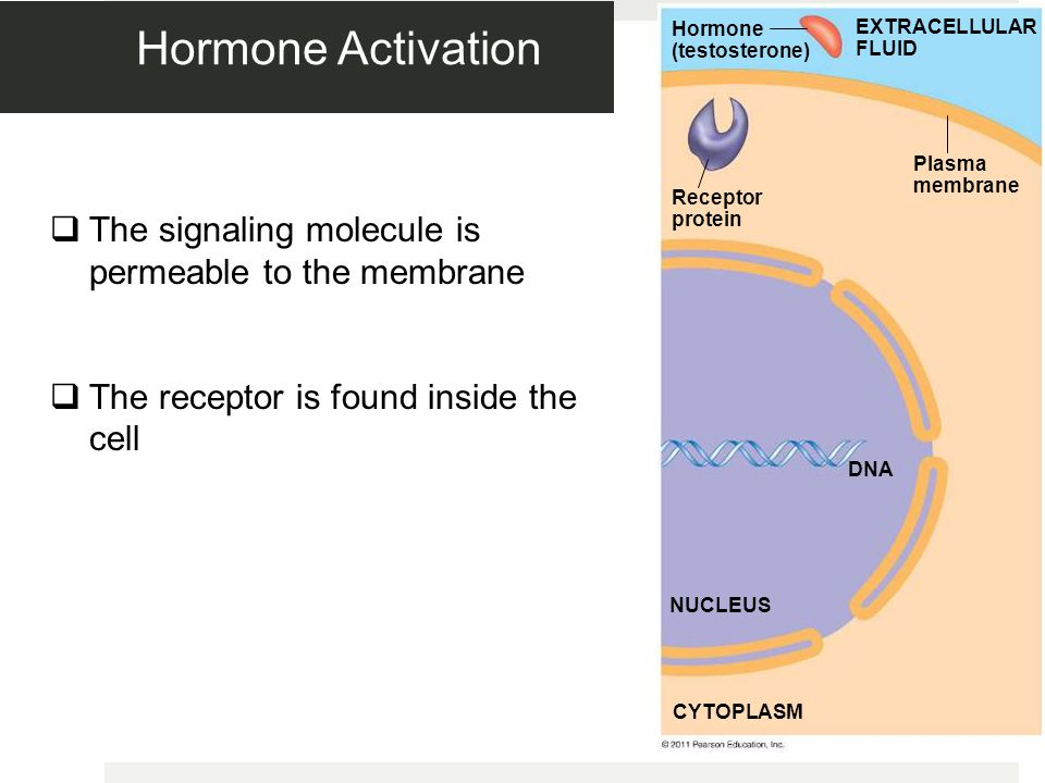 Hormone Activation The signaling molecule is permeable to the membrane