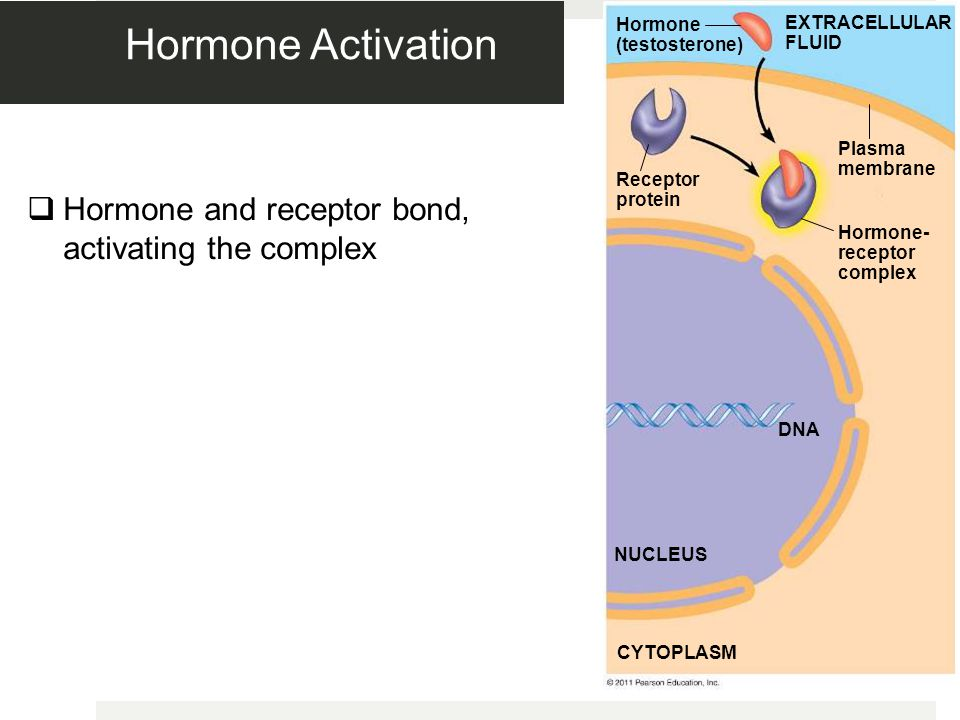Hormone Activation Hormone and receptor bond, activating the complex