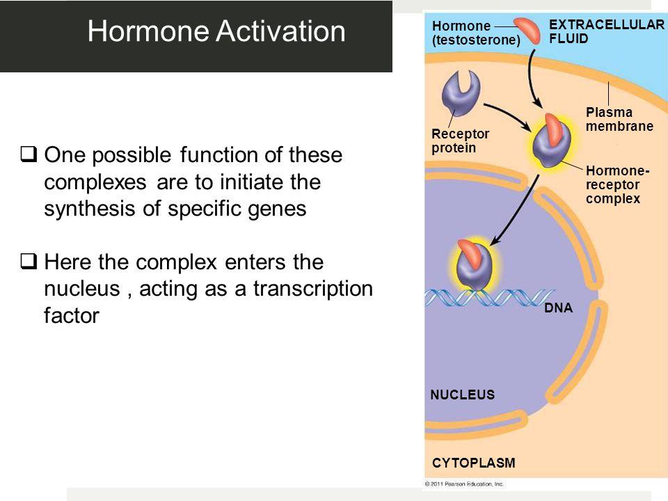Hormone Activation Figure 11.9-3. Hormone (testosterone) EXTRACELLULAR FLUID. Plasma membrane. Receptor protein.