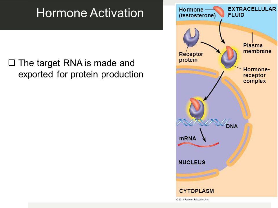 Hormone Activation Figure 11.9-4. Hormone (testosterone) EXTRACELLULAR FLUID. Plasma membrane. Receptor protein.