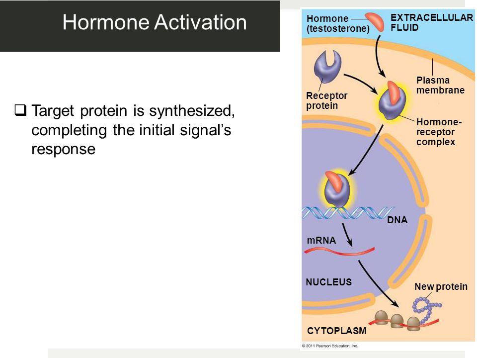 Hormone Activation Figure 11.9-5. Hormone (testosterone) EXTRACELLULAR FLUID. Plasma membrane. Receptor protein.