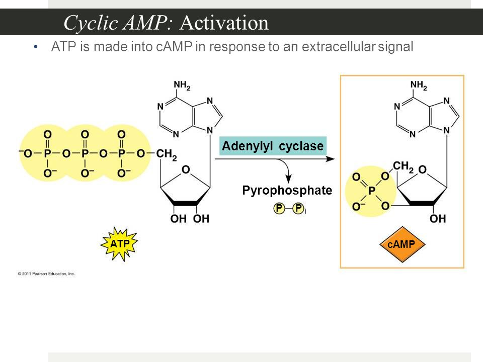 Cyclic AMP: Activation