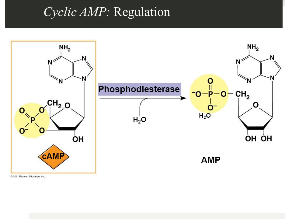 Cyclic AMP: Regulation