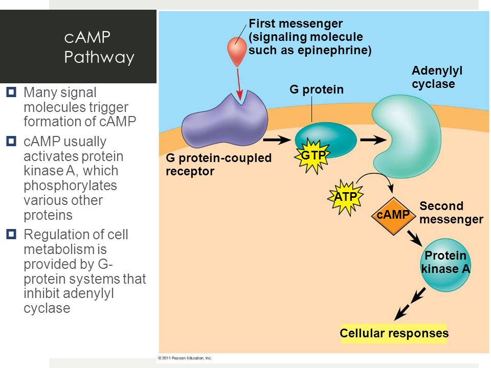 cAMP Pathway Many signal molecules trigger formation of cAMP