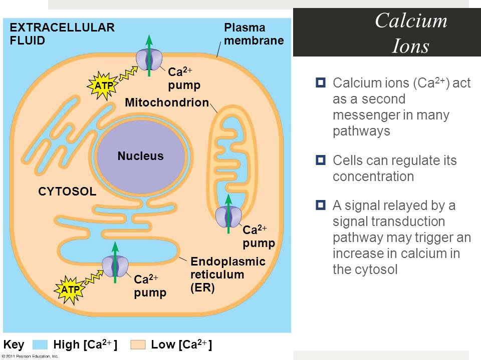 Calcium Ions EXTRACELLULAR FLUID. Plasma membrane. Ca2 pump. Calcium ions (Ca2+) act as a second messenger in many pathways.