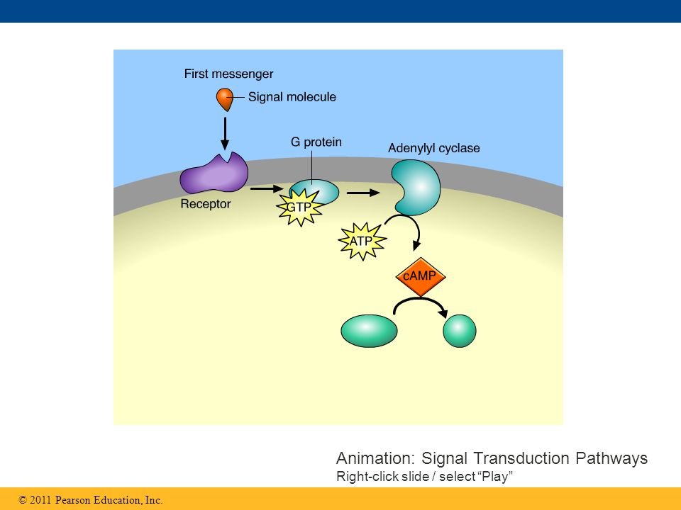 Animation: Signal Transduction Pathways Right-click slide / select Play