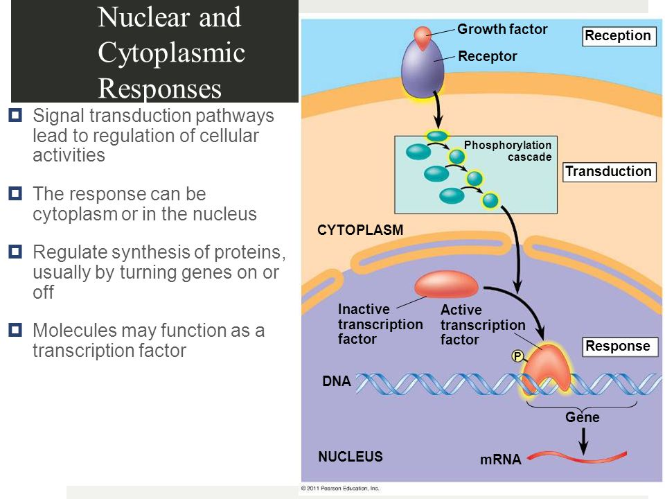Nuclear and Cytoplasmic Responses