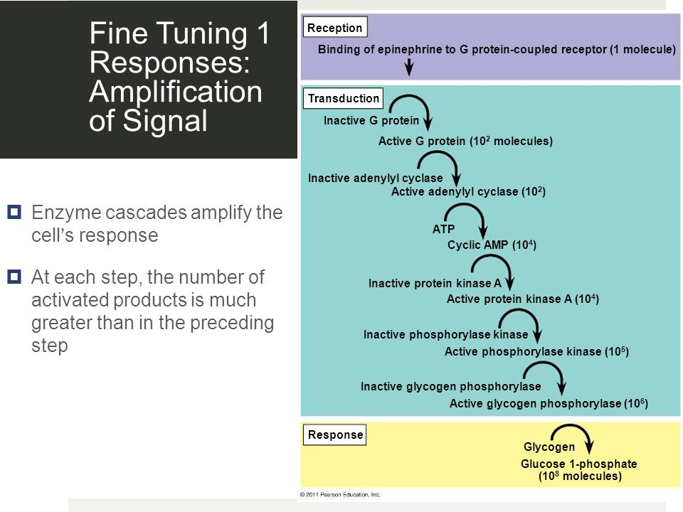 Fine Tuning 1 Responses: Amplification of Signal