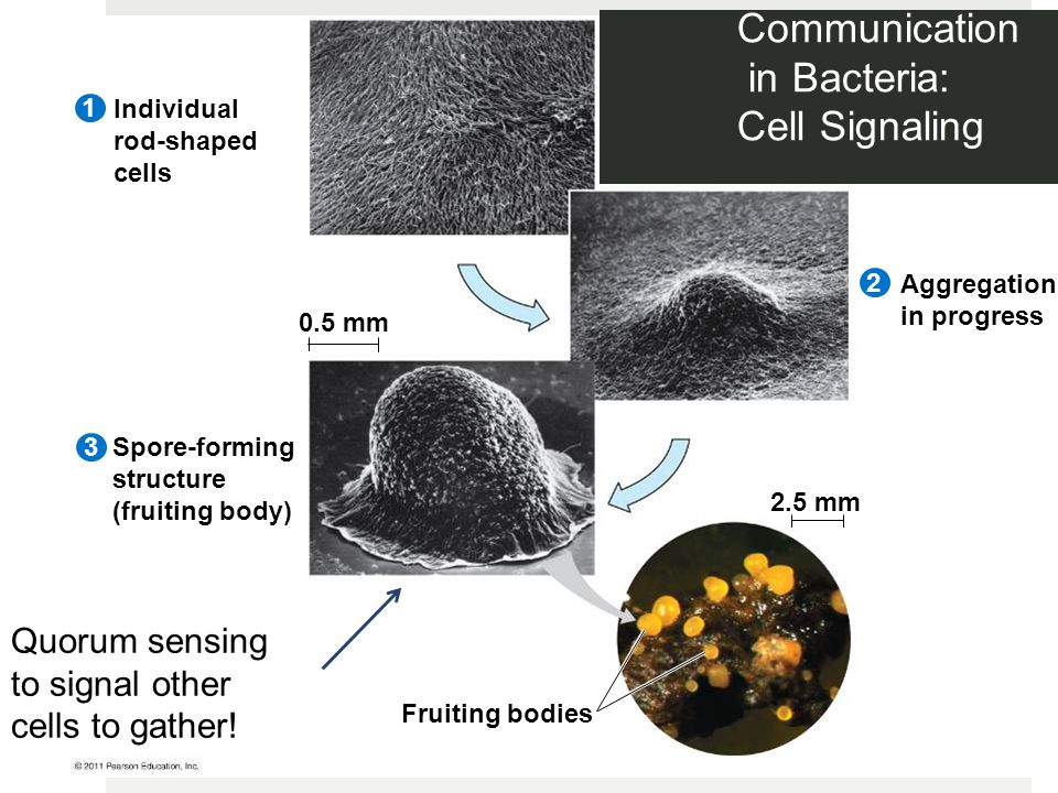 Communication in Bacteria: Cell Signaling