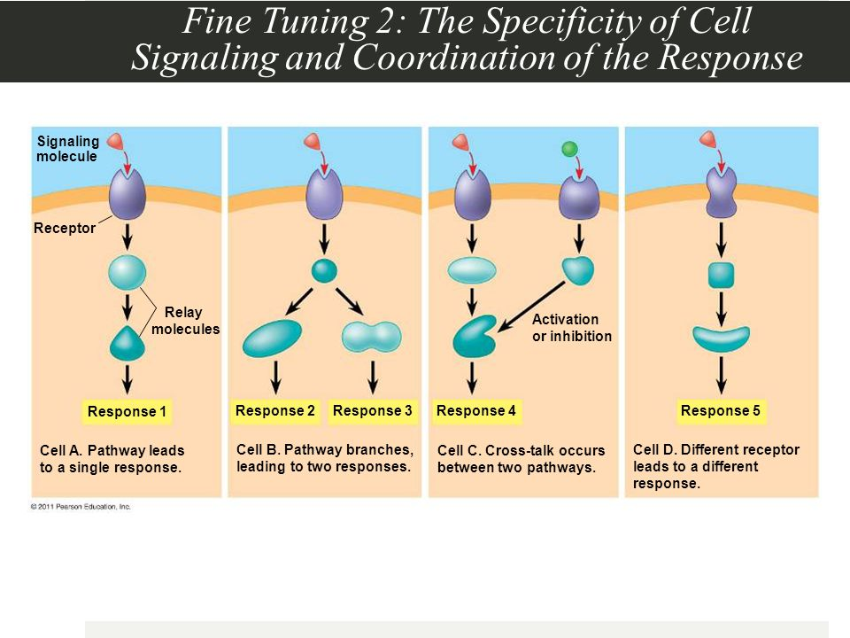 Fine Tuning 2: The Specificity of Cell Signaling and Coordination of the Response