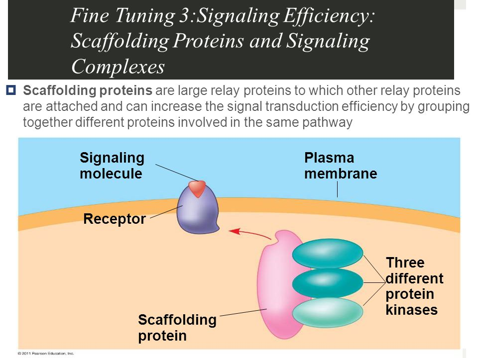 Fine Tuning 3:Signaling Efficiency: Scaffolding Proteins and Signaling Complexes