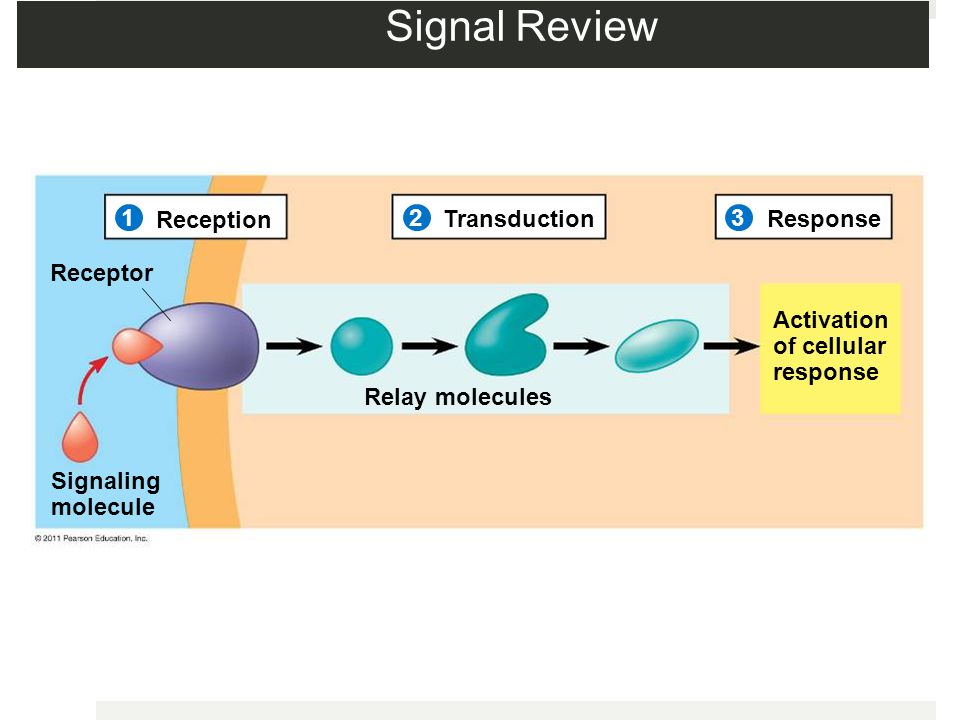 Signal Review 1 Reception 2 Transduction 3 Response Receptor