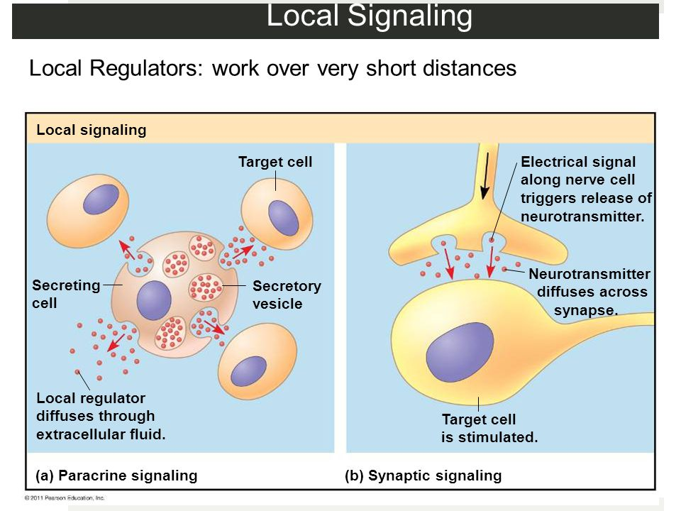 Local Signaling Local Regulators: work over very short distances