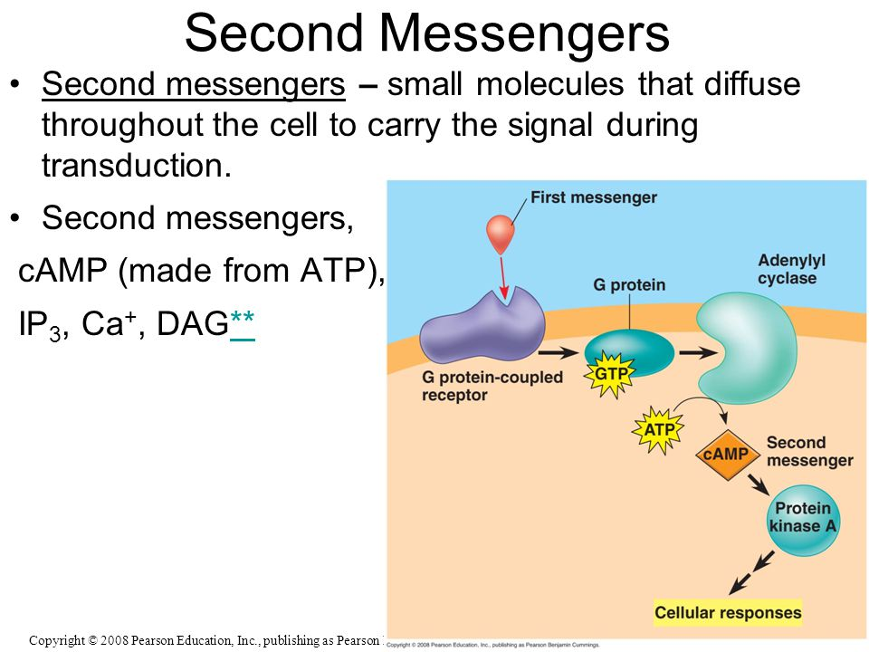 Second Messengers Second messengers – small molecules that diffuse throughout the cell to carry the signal during transduction.