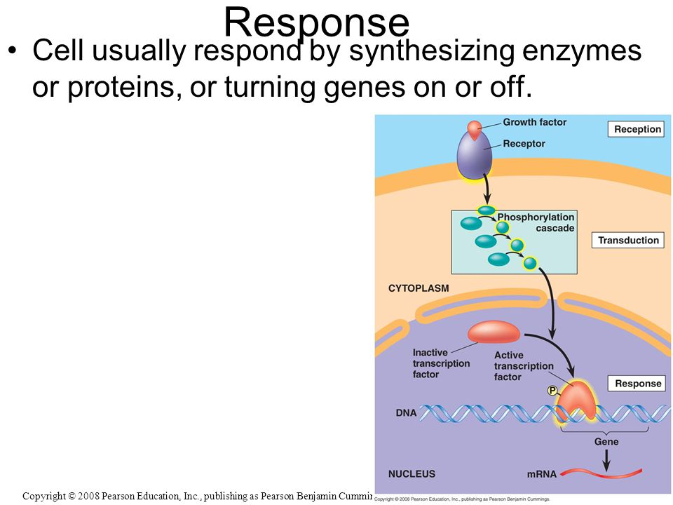 Response Cell usually respond by synthesizing enzymes or proteins, or turning genes on or off.