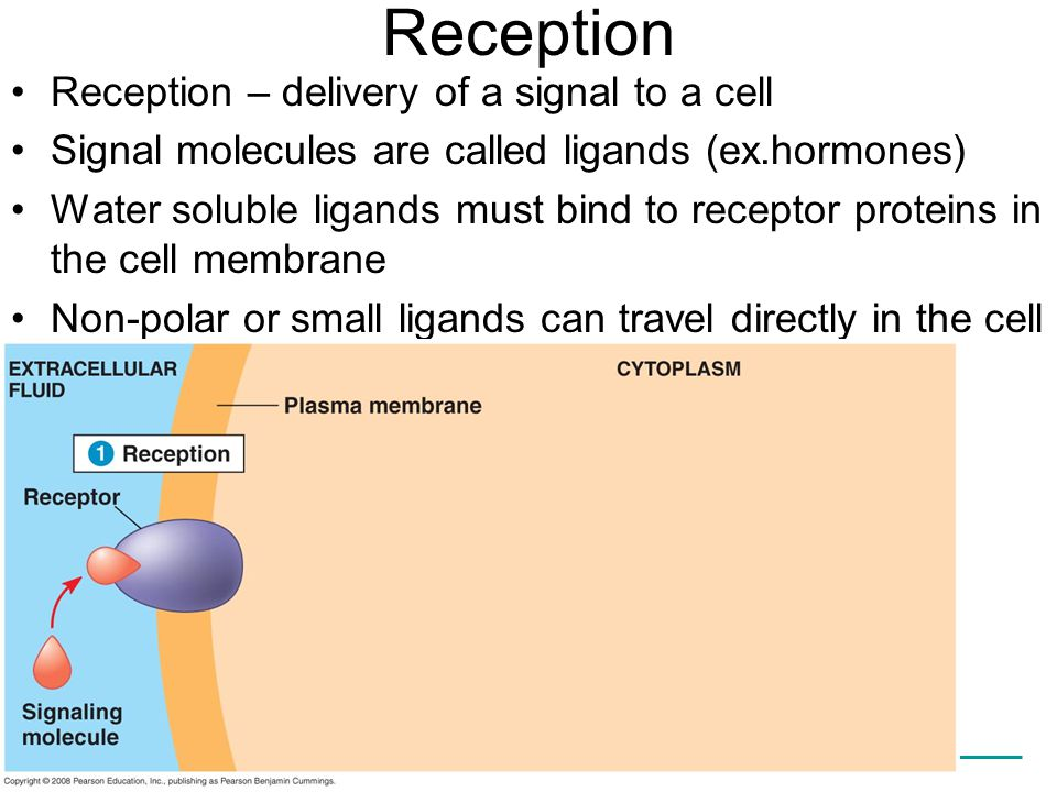 Reception Reception – delivery of a signal to a cell