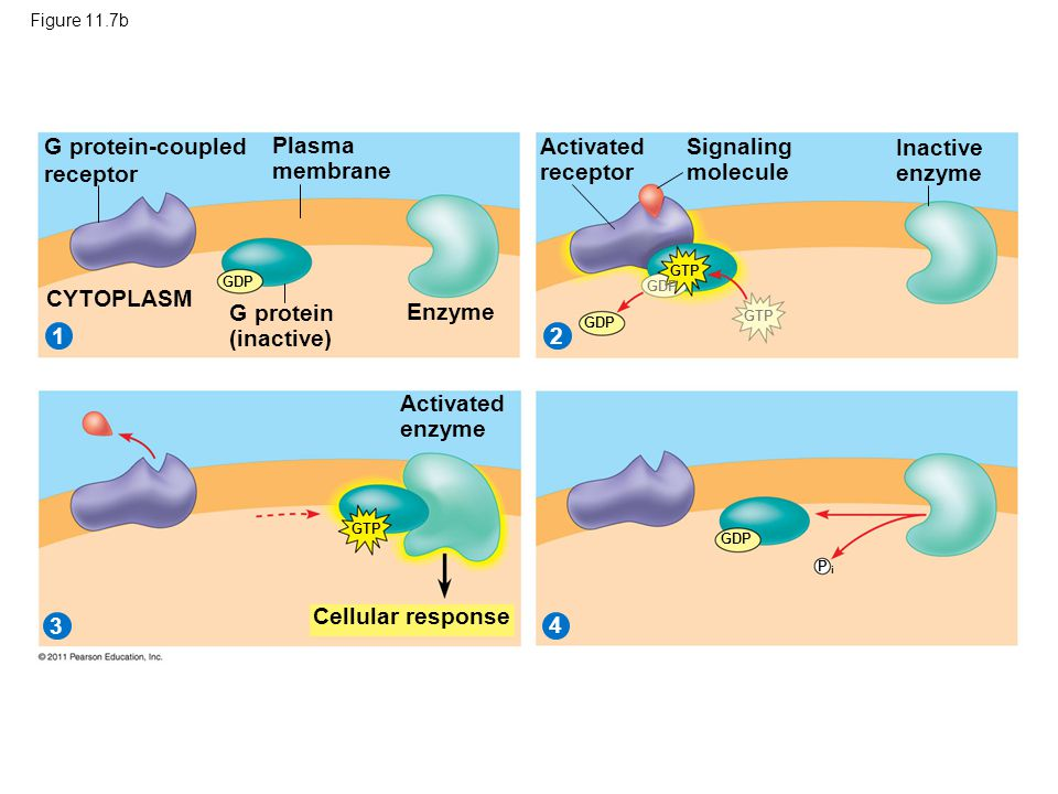G protein-coupled receptor Plasma membrane Activated receptor