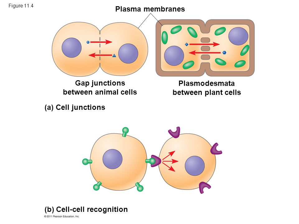 Gap junctions between animal cells Plasmodesmata between plant cells