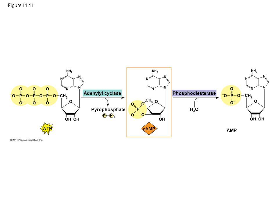 Figure 11.11 Adenylyl cyclase Phosphodiesterase Pyrophosphate AMP