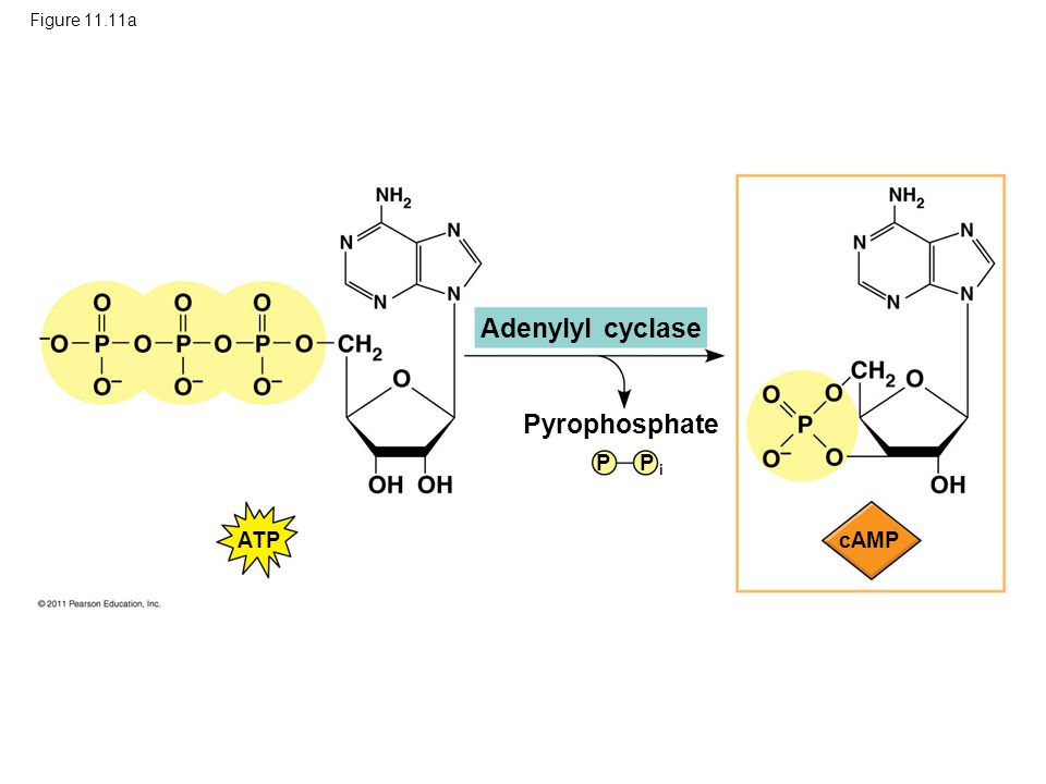 Adenylyl cyclase Pyrophosphate P P i ATP cAMP Figure 11.11a