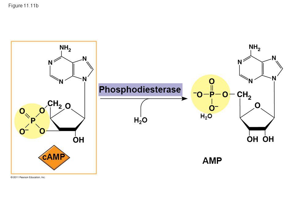 Phosphodiesterase AMP cAMP H2O H2O Figure 11.11b