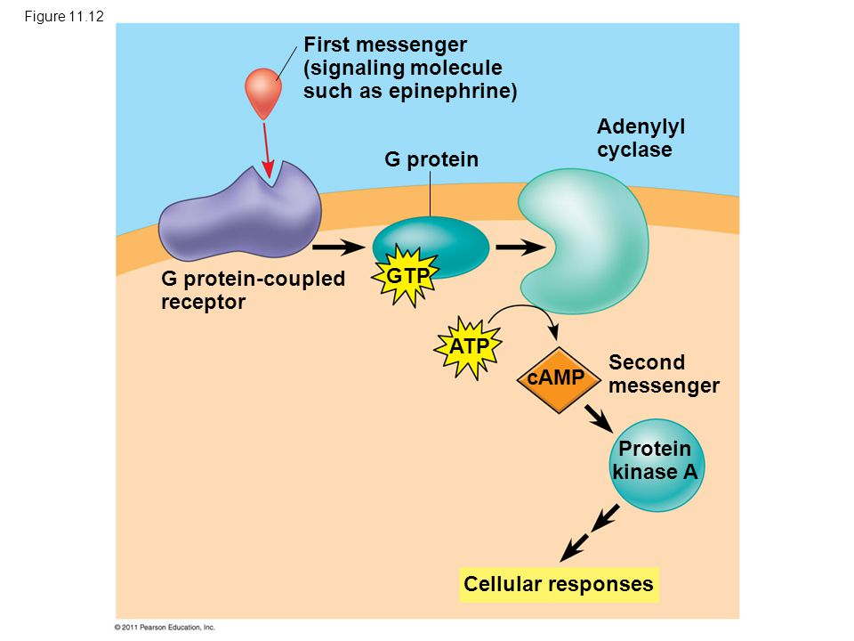 First messenger (signaling molecule such as epinephrine)