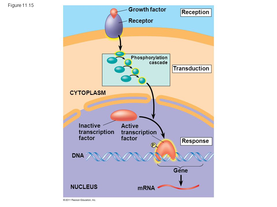 Inactive transcription factor Active transcription factor
