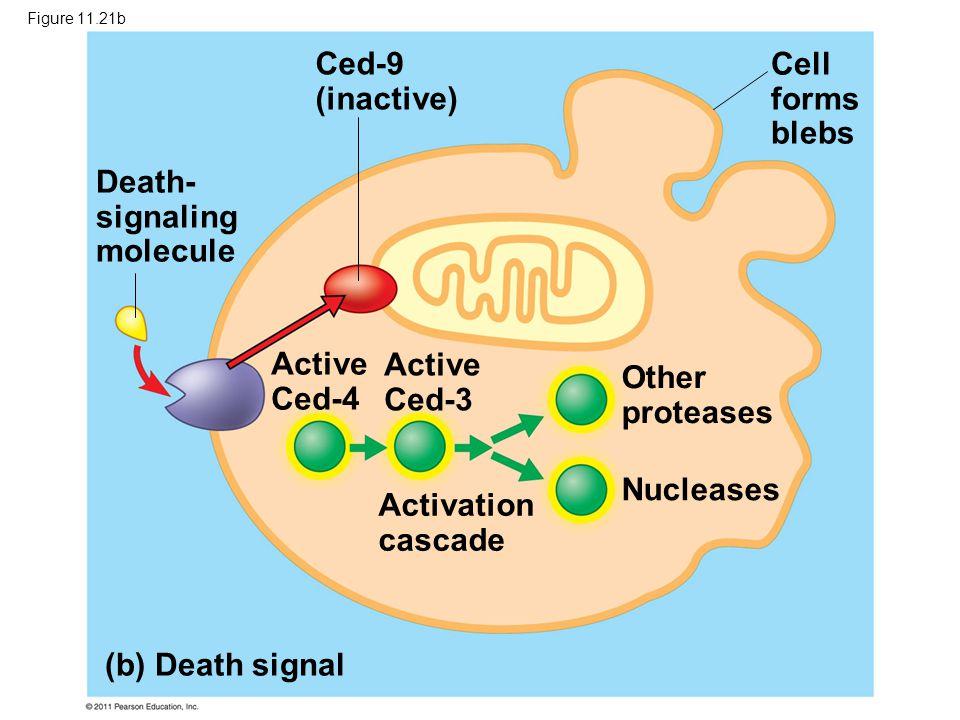 Death- signaling molecule