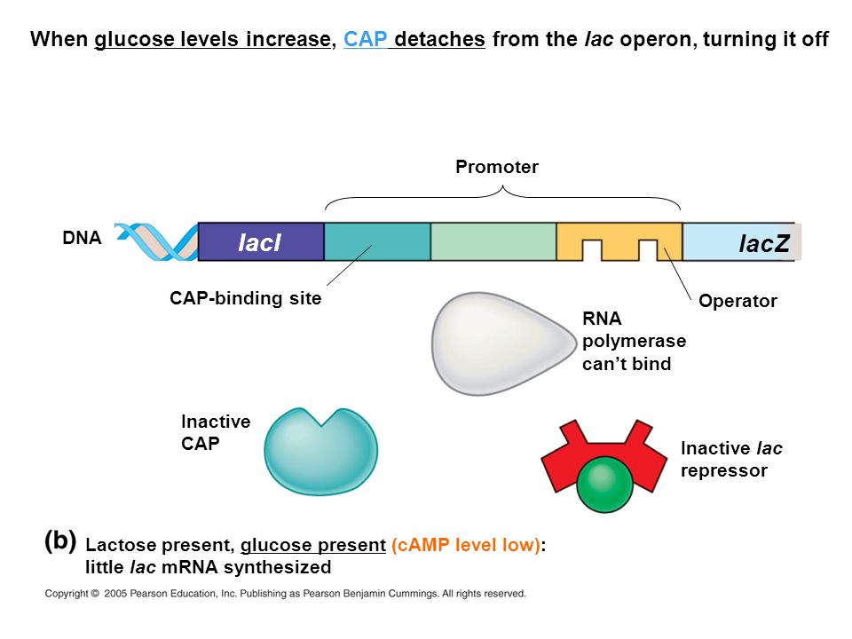 When glucose levels increase, CAP detaches from the lac operon, turning it off