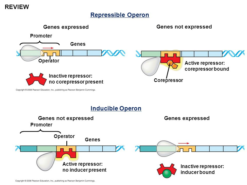 REVIEW Repressible Operon Inducible Operon Genes expressed
