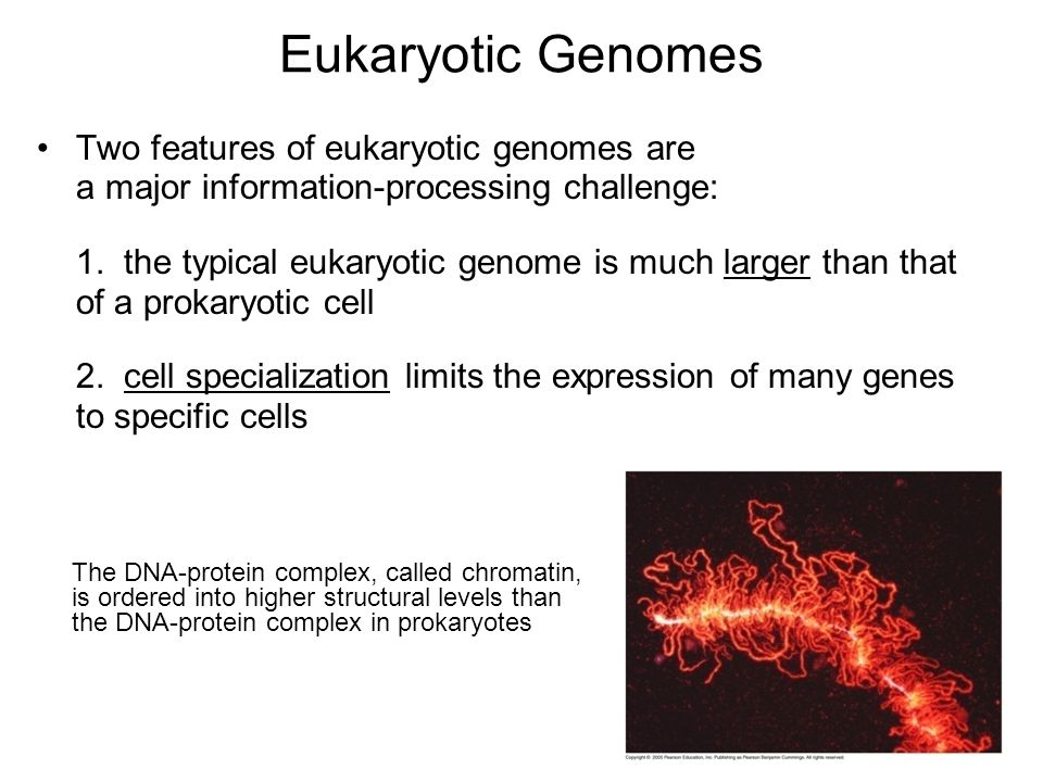 Eukaryotic Genomes Two features of eukaryotic genomes are a major information-processing challenge: