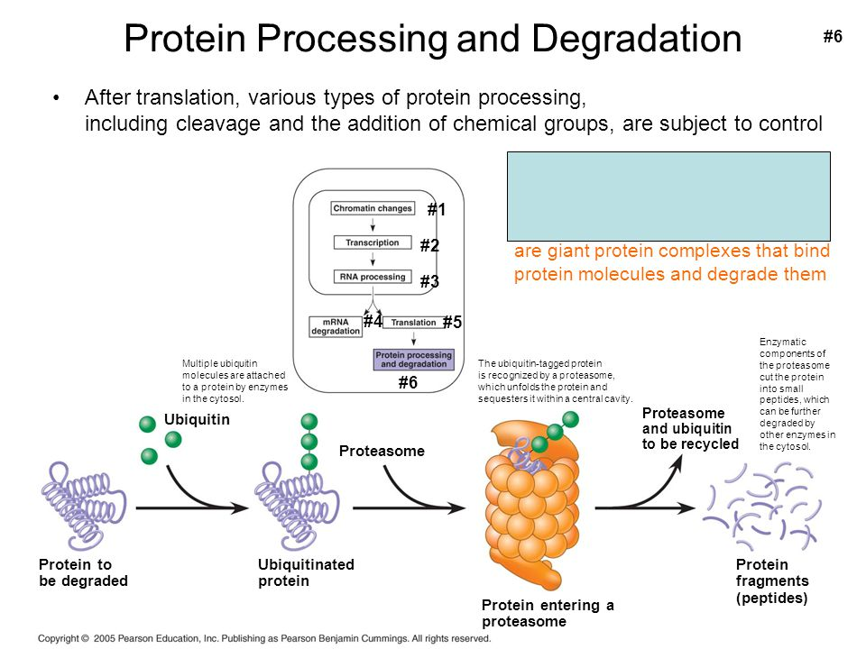 Protein Processing and Degradation