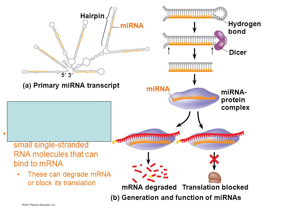 small single-stranded RNA molecules that can bind to mRNA