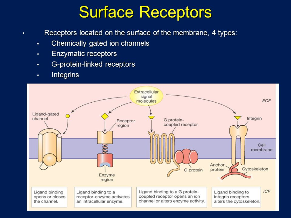 Surface Receptors Receptors located on the surface of the membrane, 4 types: Chemically gated ion channels.