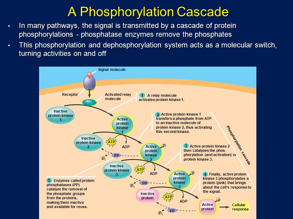 A Phosphorylation Cascade